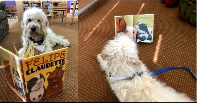 Kai, a Goldendoodle therapy dog, reading a book in the library